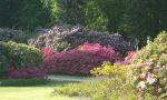 blühende Rhododendren im Graal-Müritzer Rhododendronpark